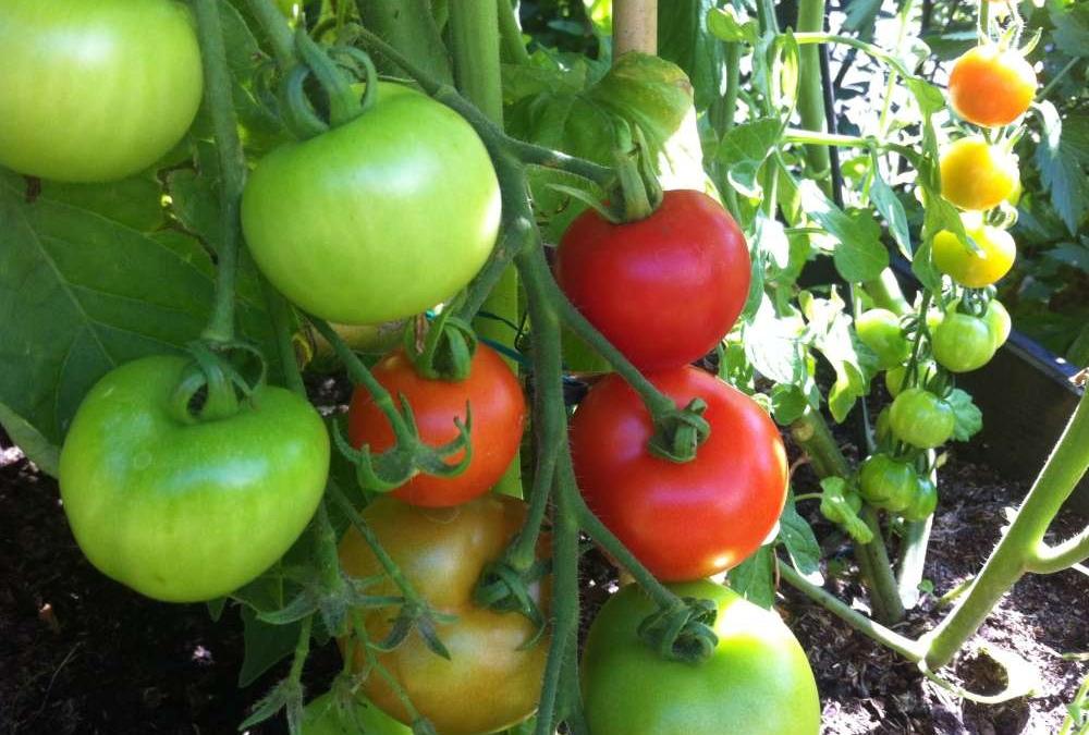 Tomatsuppe med basilikun